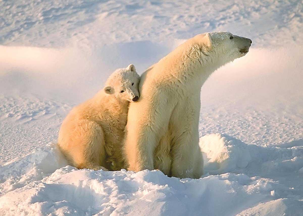 Polar Bear and Cub Bears Jigsaw Puzzle