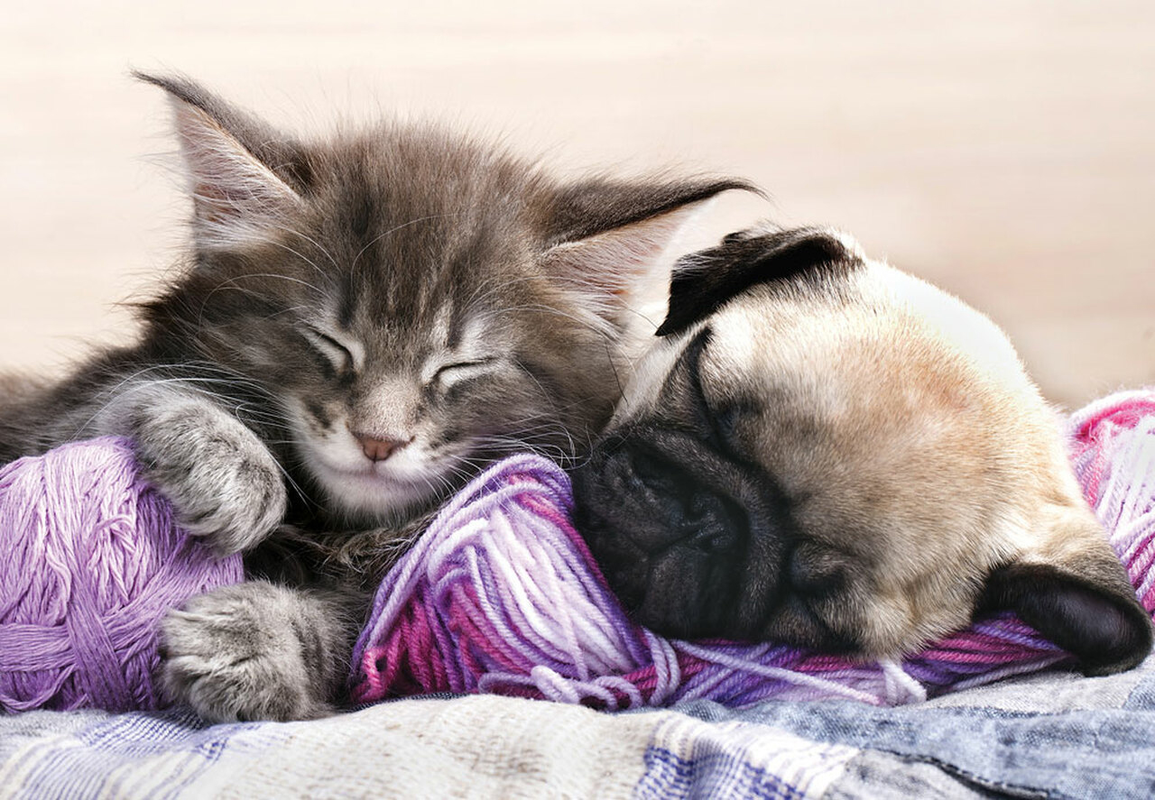 Kitten Maine Coon And Puppy Pug Cats Jigsaw Puzzle