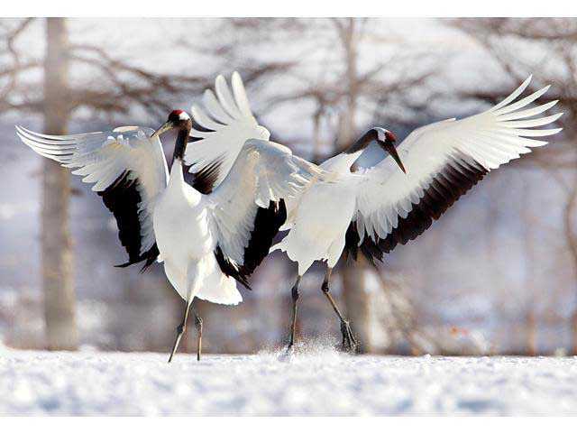 Two Japanese Cranes Birds Jigsaw Puzzle