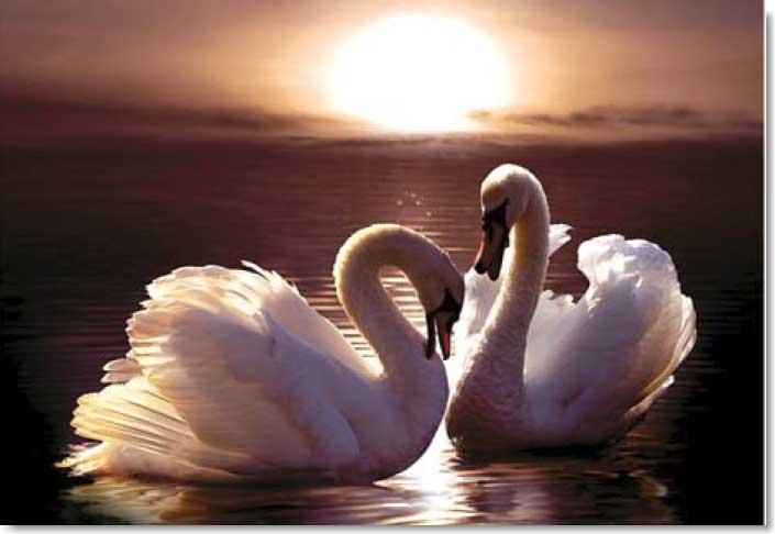 Loving Swans Birds Jigsaw Puzzle