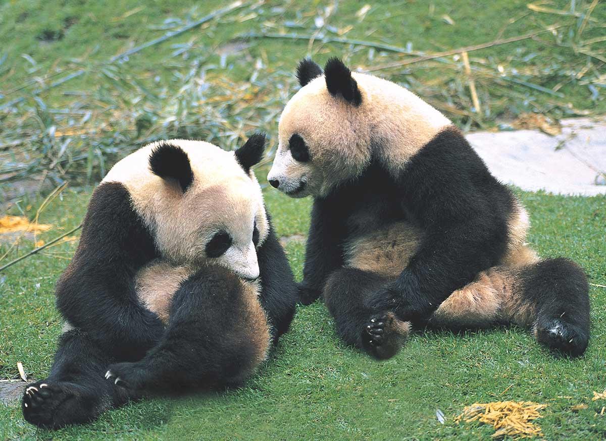 Pandas Pandas Jigsaw Puzzle