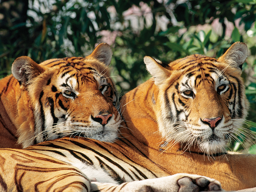 Asian Bengal Tigers - Scratch and Dent Tigers Jigsaw Puzzle