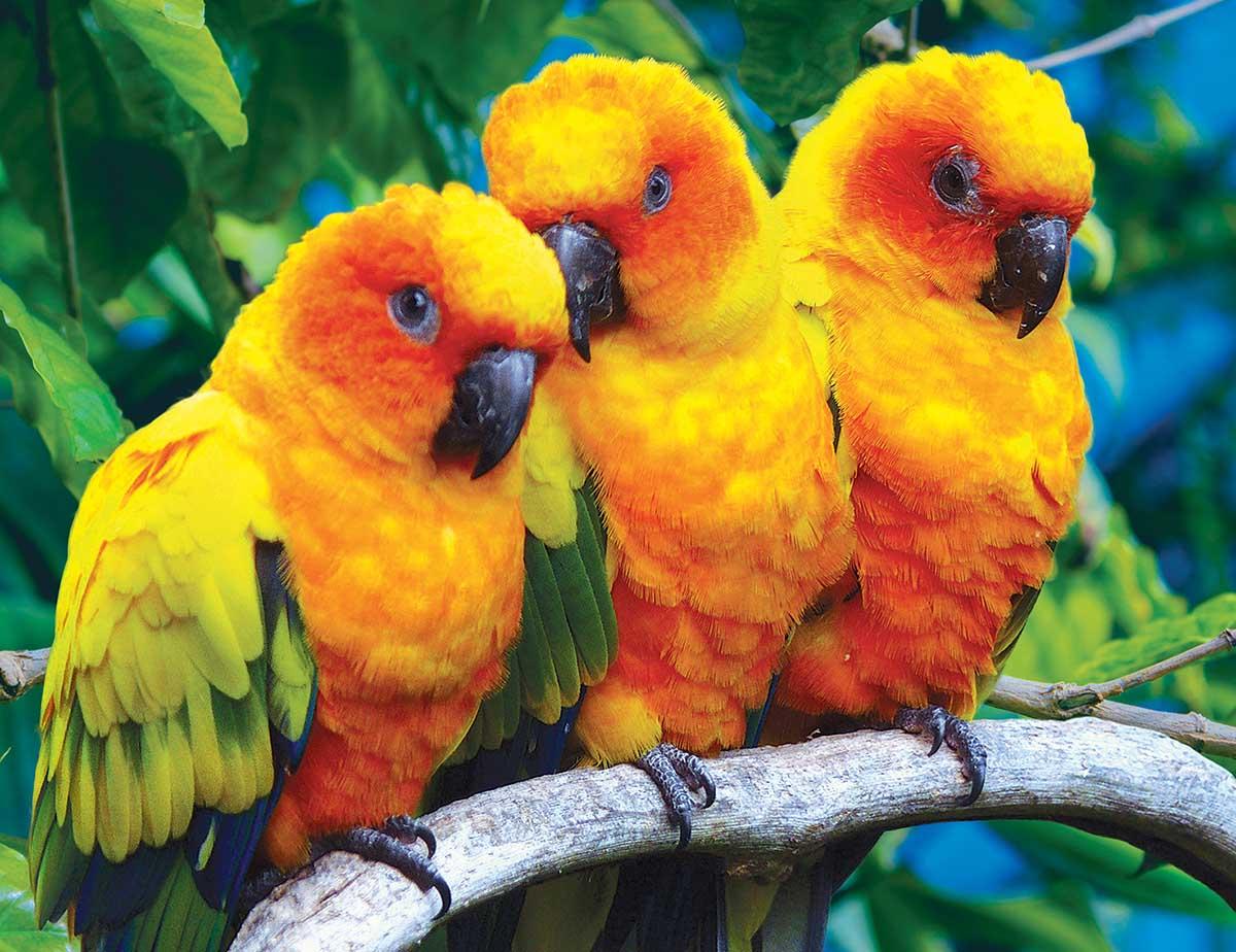 Fluffy Sun Conure Birds Birds Jigsaw Puzzle
