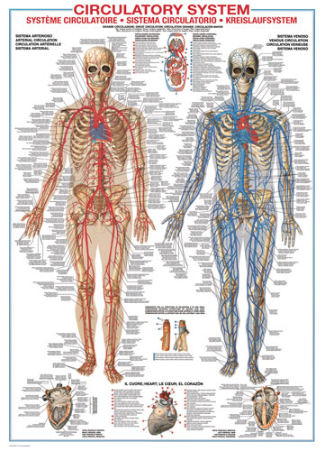 Circulatory System Anatomy & Biology Jigsaw Puzzle
