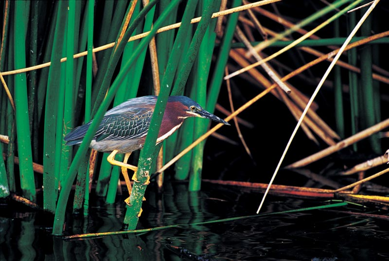 Green Heron Birds Jigsaw Puzzle