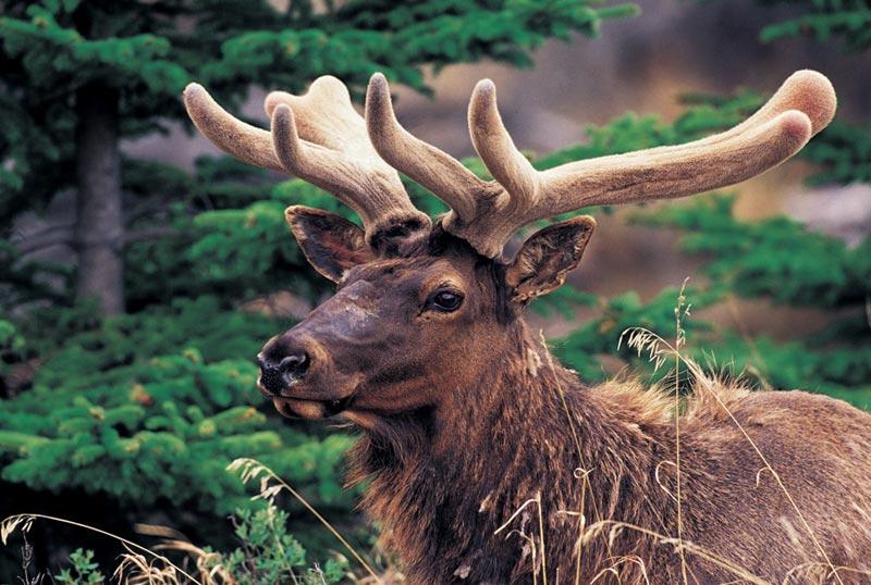 Elk Wildlife Jigsaw Puzzle