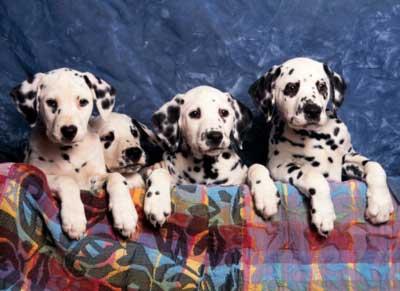 Dalmatians Dogs Jigsaw Puzzle