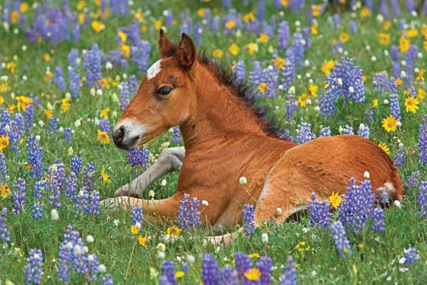 Puzzle Paws - Bay Mustang Foal Horses Jigsaw Puzzle