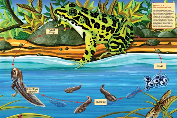 Life Cycle of a Northern Leopard Frog Reptiles / Amphibians Jigsaw Puzzle