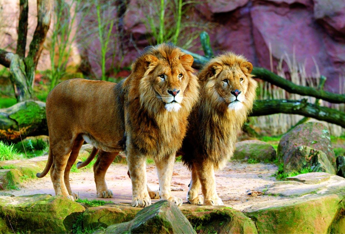 Lions Wildlife Jigsaw Puzzle