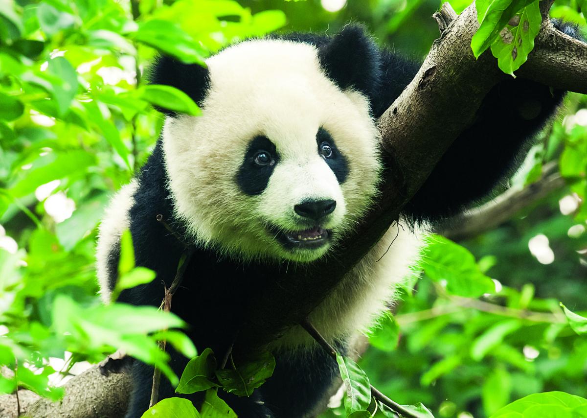 Giant Panda Pandas Jigsaw Puzzle