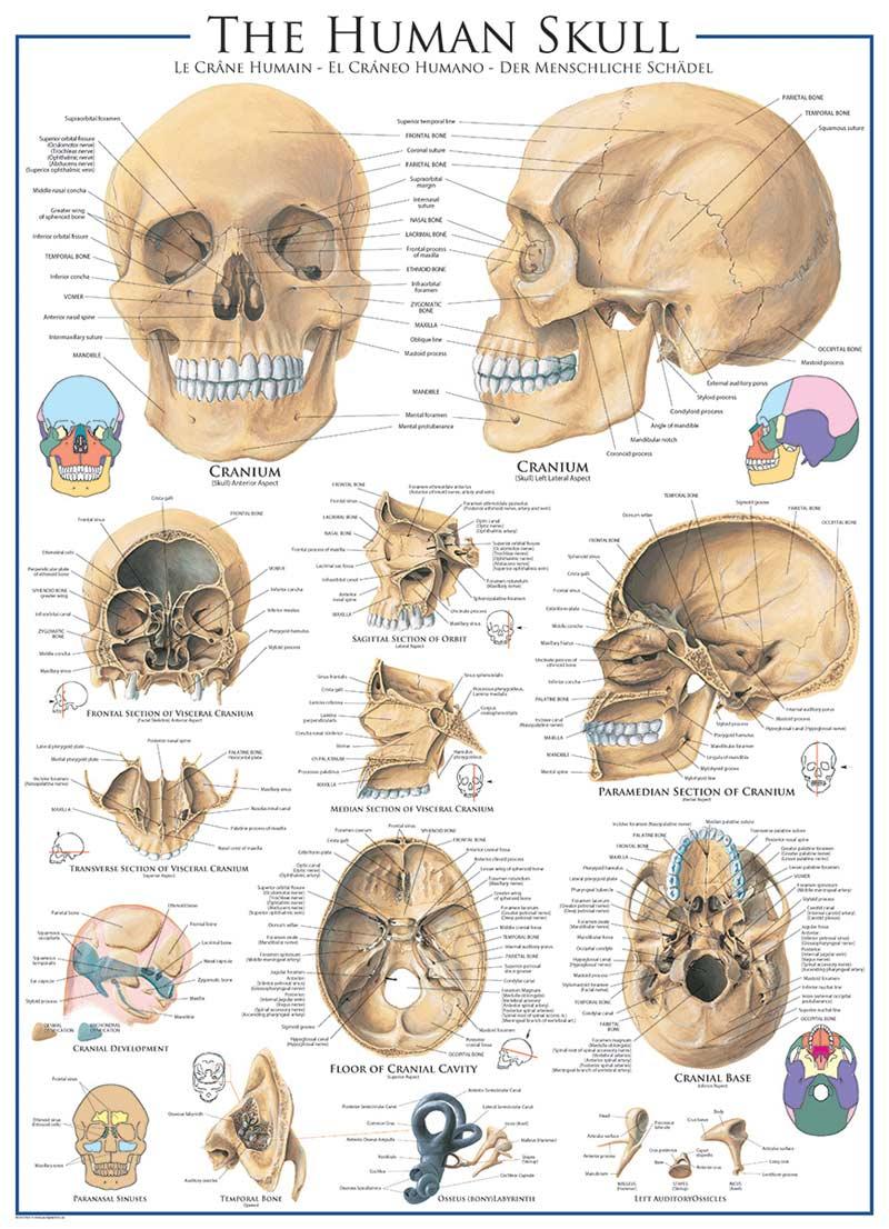 human skull jigsaw puzzle | puzzlewarehouse, Skeleton