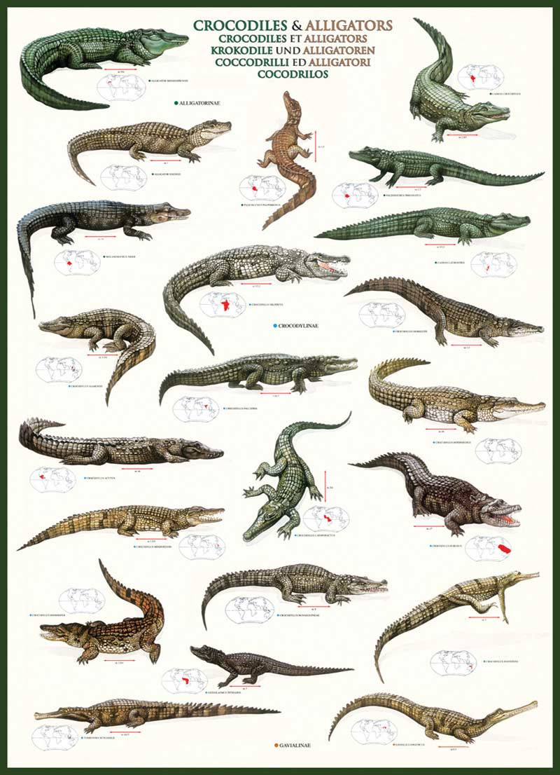 Crocodiles & Alligators Jigsaw Puzzle | PuzzleWarehouse.com