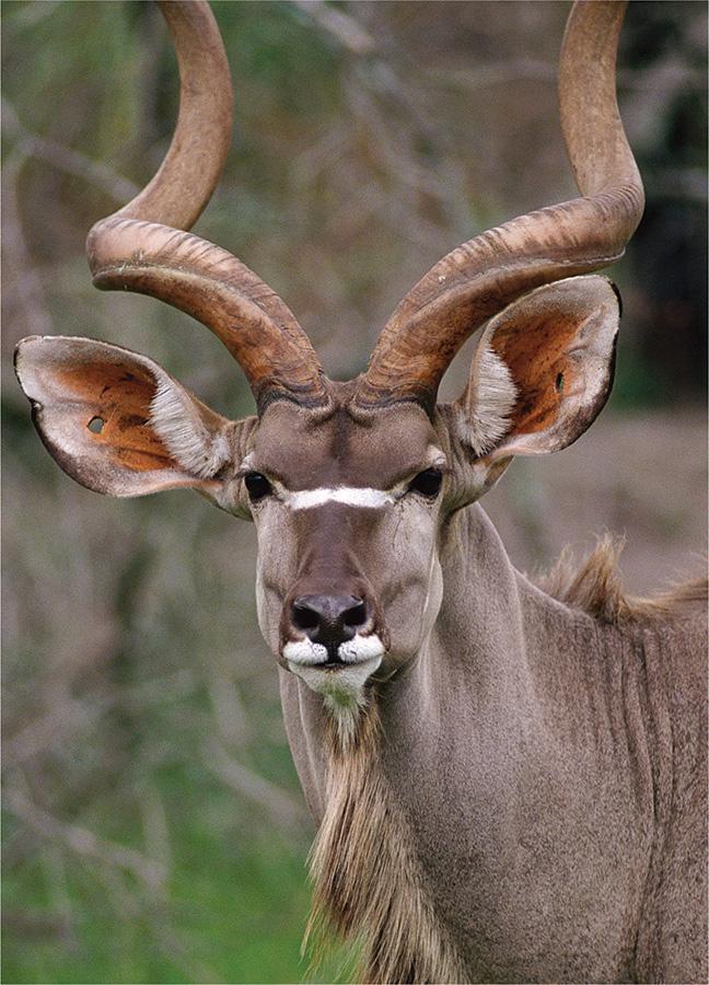 Kudu (Wildlife Mini) (Mini) Wildlife Jigsaw Puzzle
