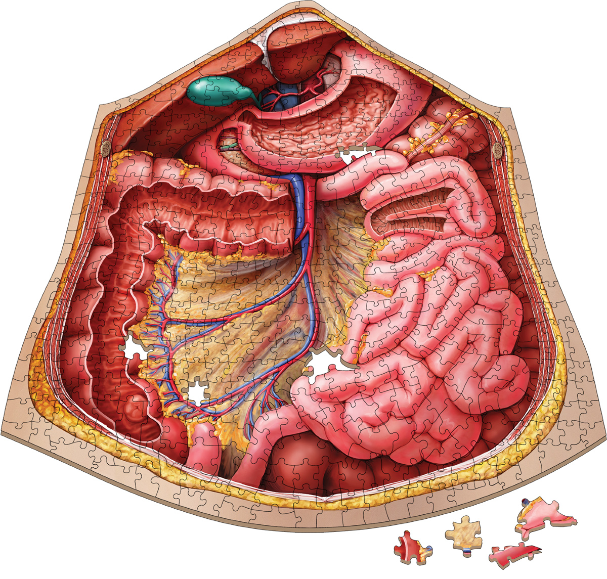 Dr. Livingston's Anatomy Jigsaw Puzzle: The Human Abdomen Anatomy & Biology Shaped Puzzle