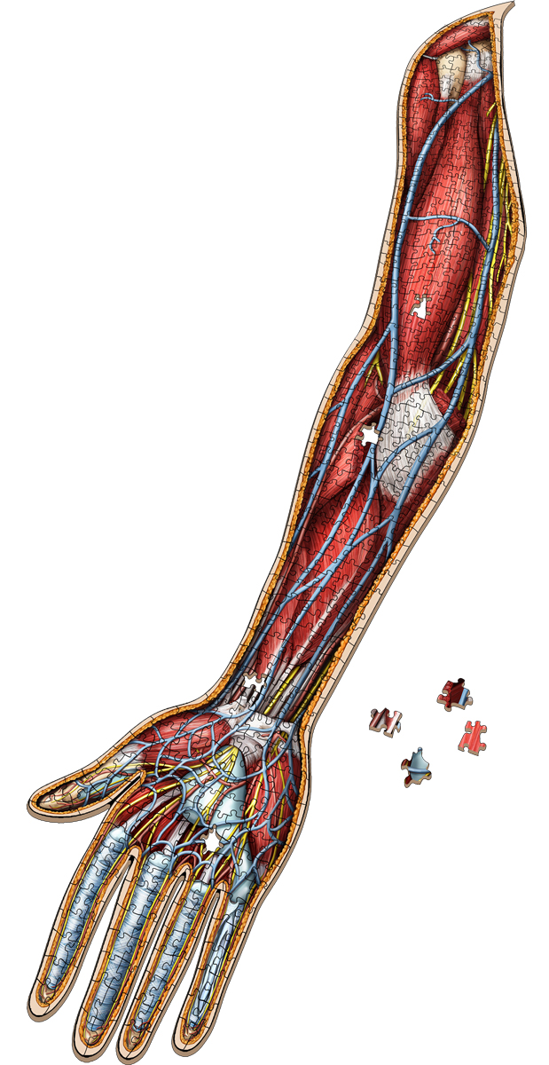 Dr. Livingston's Anatomy Jigsaw Puzzle: The Human Right Arm Anatomy & Biology Shaped Puzzle