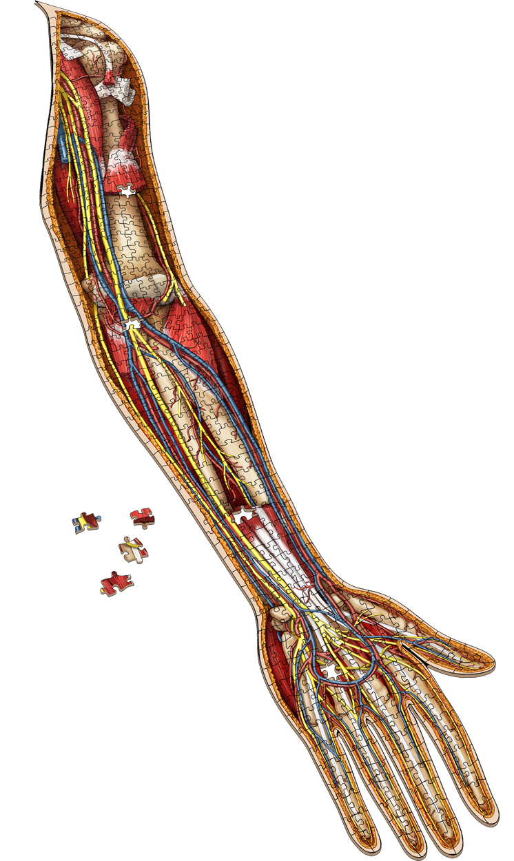 Dr. Livingston's Anatomy Jigsaw Puzzle: The Human Left Arm Anatomy & Biology Shaped Puzzle