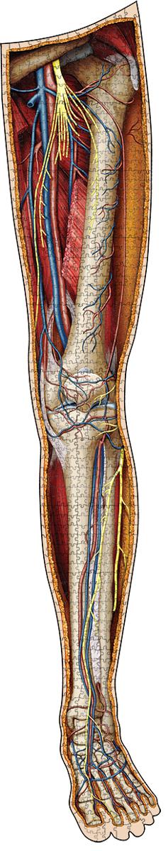 Dr. Livingston's Anatomy Jigsaw Puzzle: The Human Left Leg Anatomy & Biology Shaped Puzzle