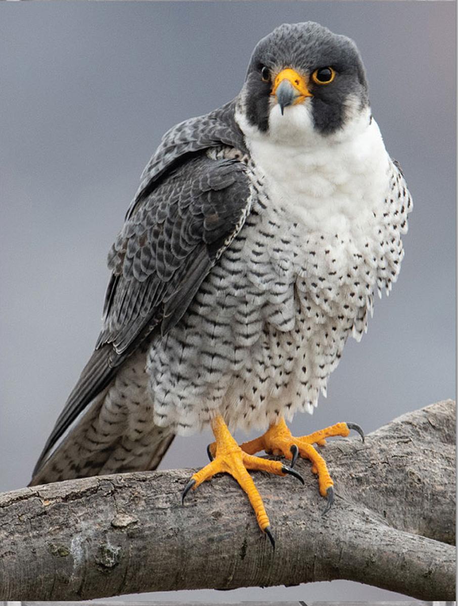 Peregrine Falcon MiniPix® Puzzle Birds Jigsaw Puzzle
