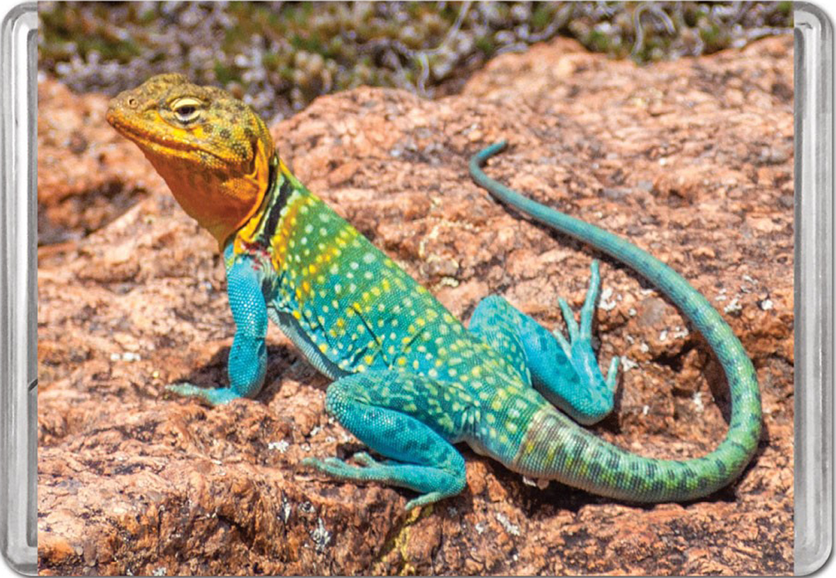 Collared Lizard MiniPix® Puzzle Reptiles / Amphibians Jigsaw Puzzle