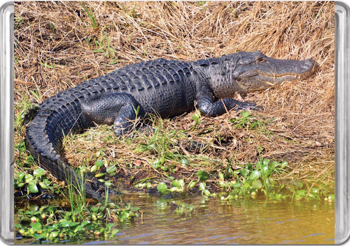 American Alligator MiniPix® Puzzle Reptiles / Amphibians Jigsaw Puzzle