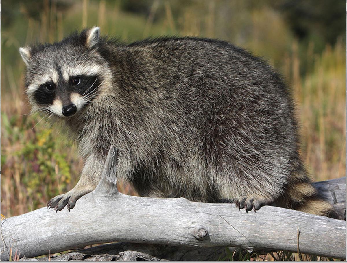 Common Raccoon MiniPix® Puzzle Animals Jigsaw Puzzle