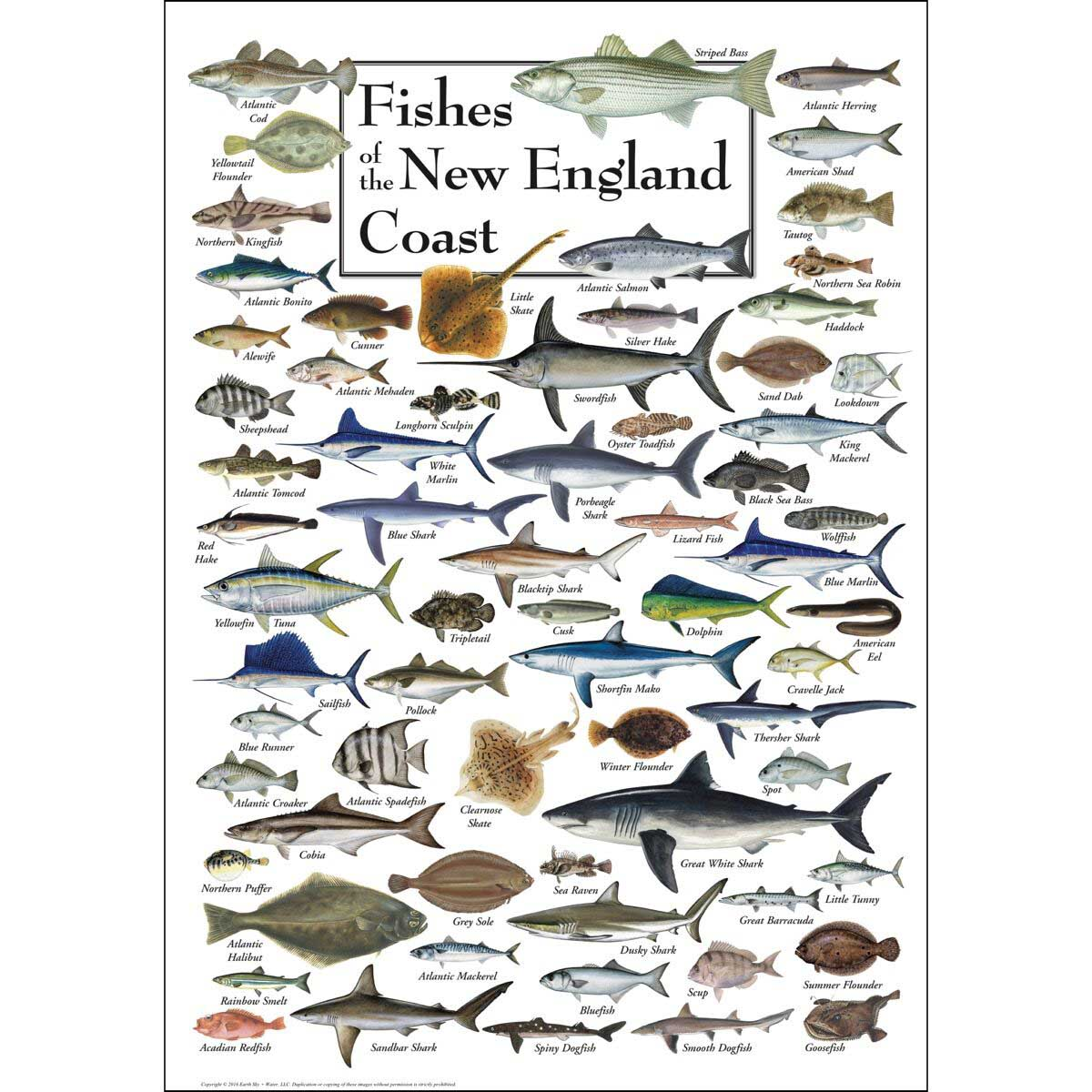 Fish of the New England Coast Fish Jigsaw Puzzle