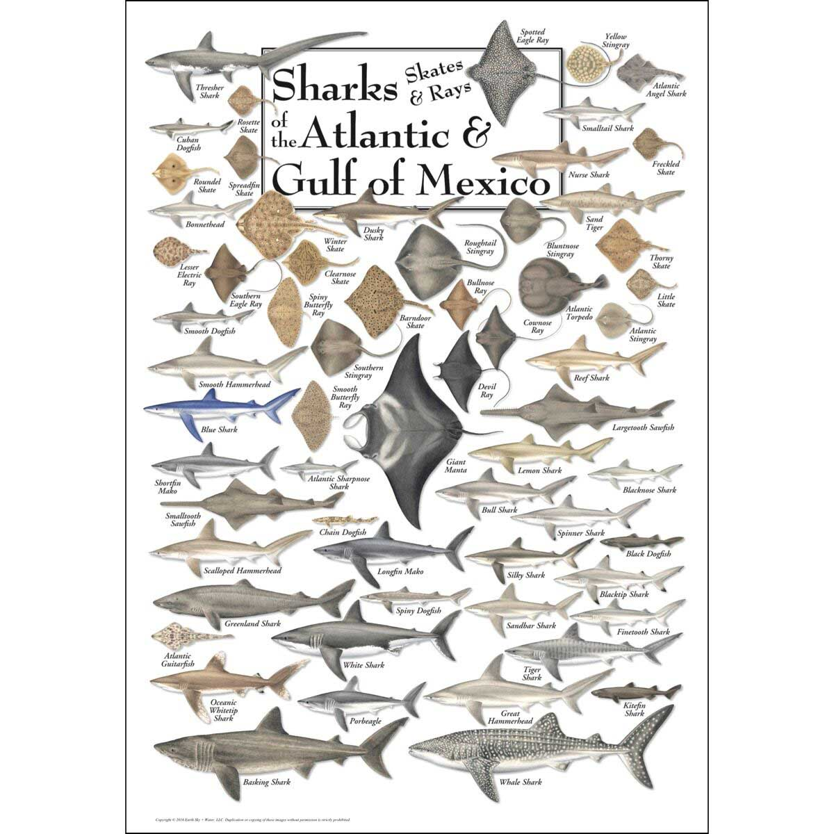 Sharks, Skates & Rays of the Atlantic and Gulf of Mexico Under The Sea Jigsaw Puzzle