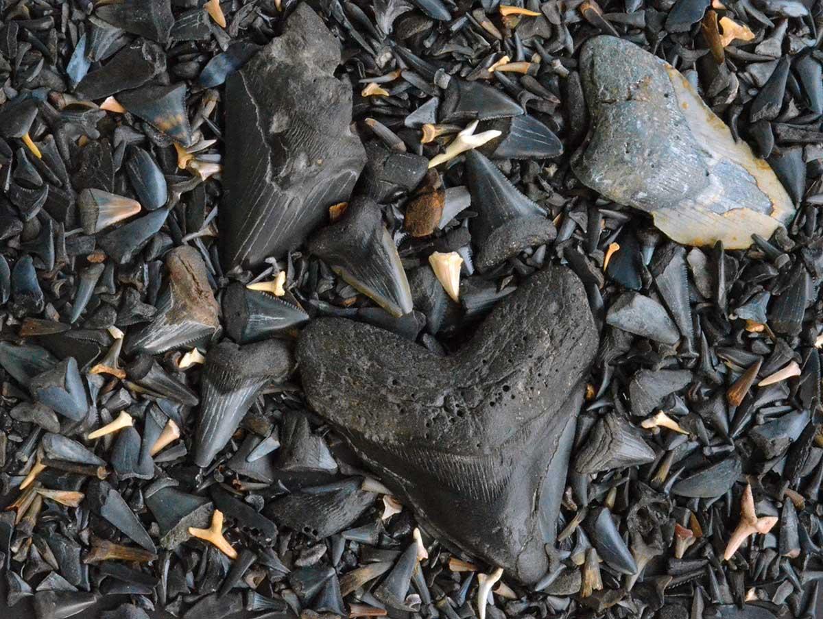 Fossilized Shark's Teeth Beach Jigsaw Puzzle