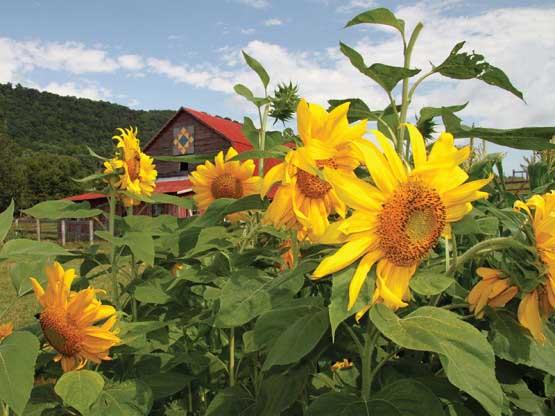 Sunflower Daze Flowers Jigsaw Puzzle