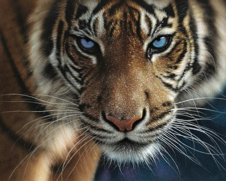 Blue Eyes Tiger Tigers Jigsaw Puzzle