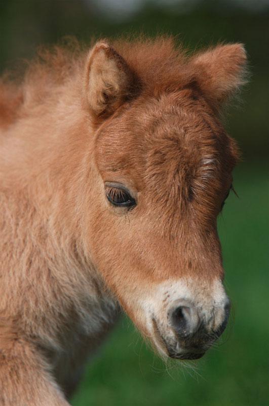Mini Puzzles Horses - Shetland Pony Horses Jigsaw Puzzle