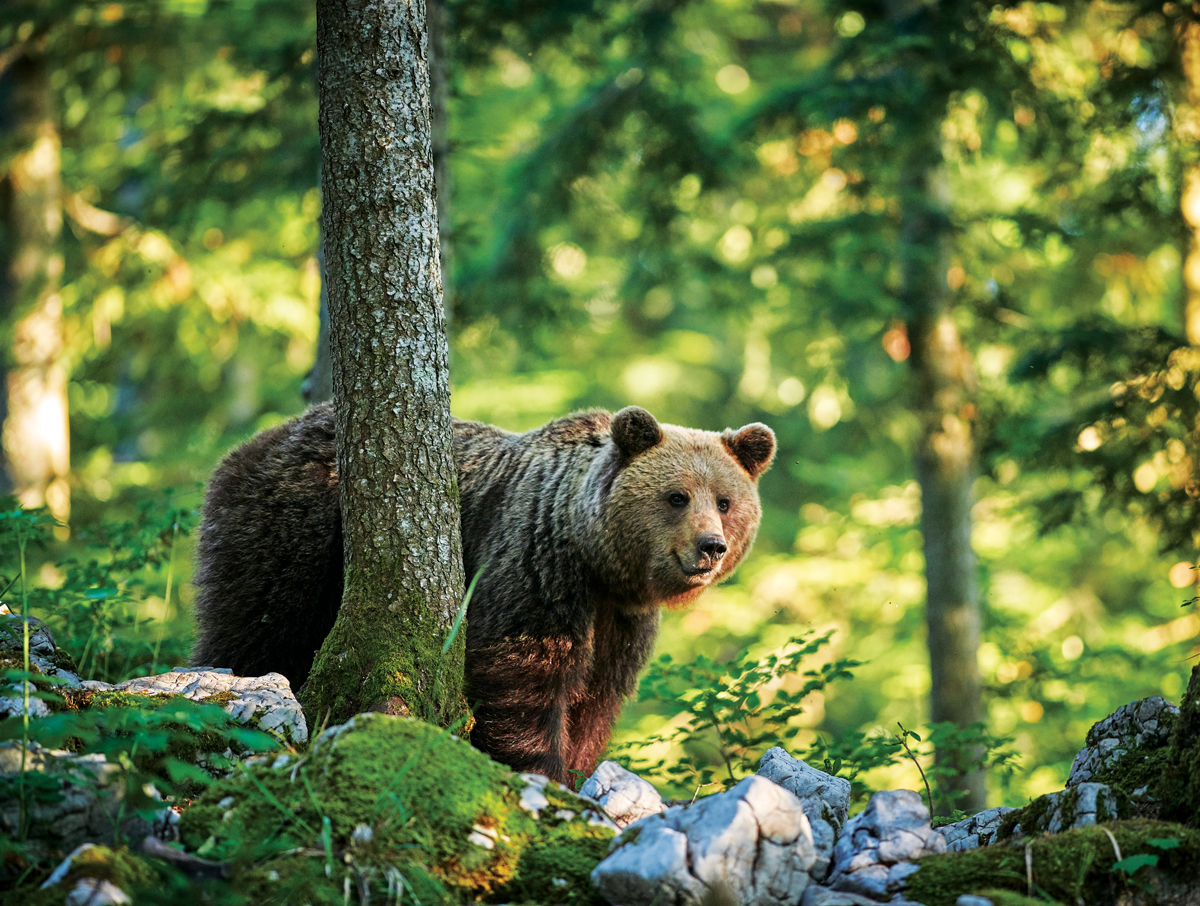 Bear in the Forest Bears Jigsaw Puzzle