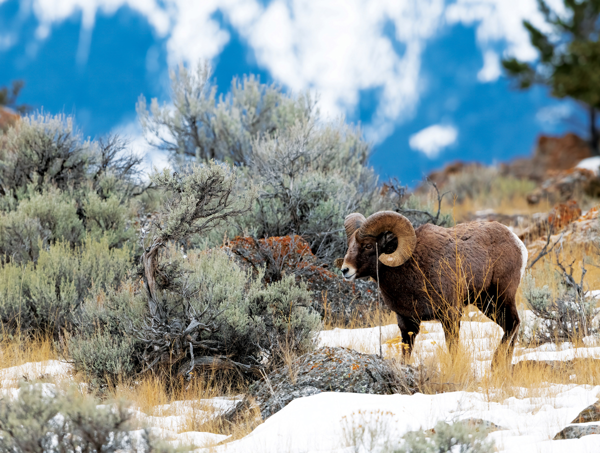 Big Horn Ram Wildlife Jigsaw Puzzle
