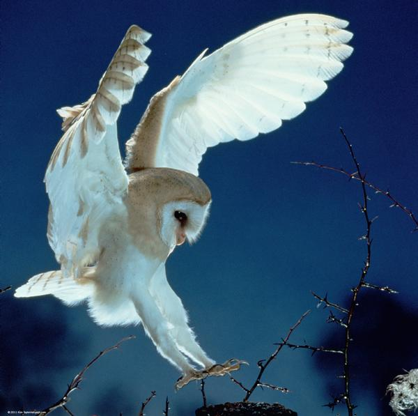 Barn Owl Photography Jigsaw Puzzle