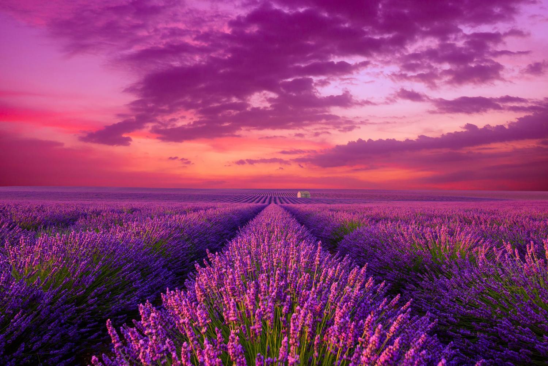 Lavender Field Flowers Jigsaw Puzzle