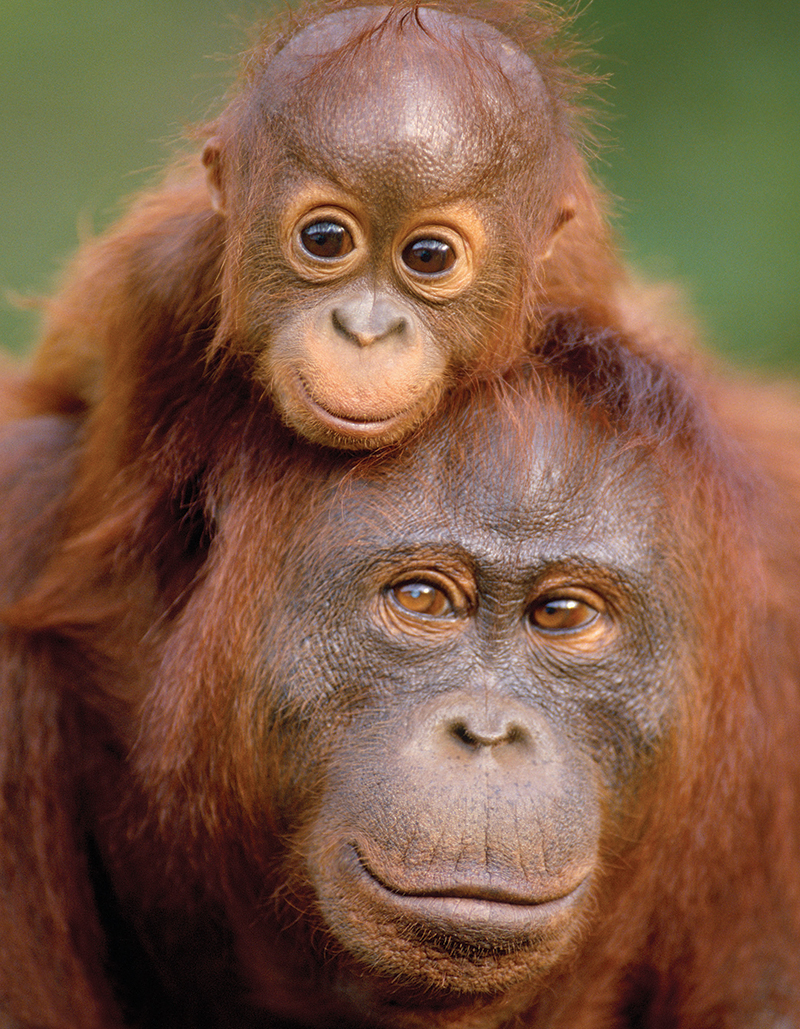 Orangutan & Baby  (Mini) - Scratch and Dent Jungle Animals Jigsaw Puzzle