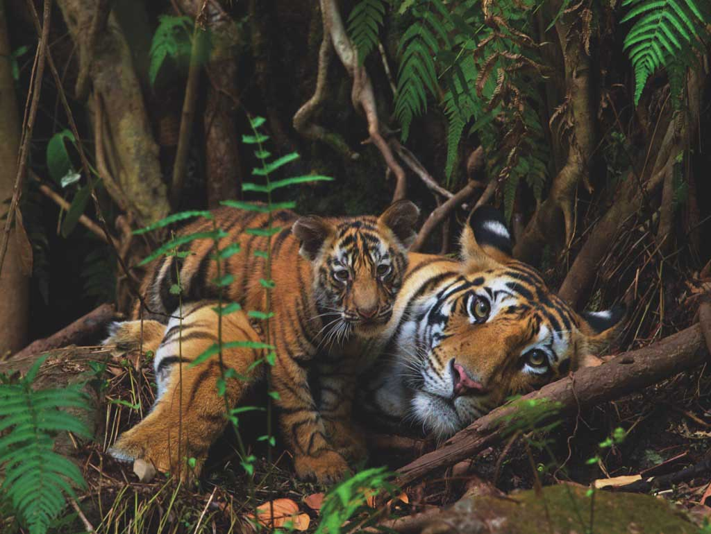 Mother Tiger and Cub Photography Jigsaw Puzzle