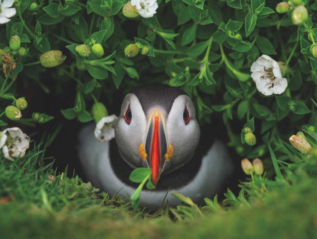Puffin Chick Birds Jigsaw Puzzle