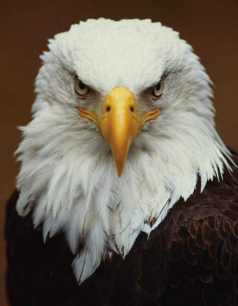 Bald Eagle (Mini) Eagles Jigsaw Puzzle