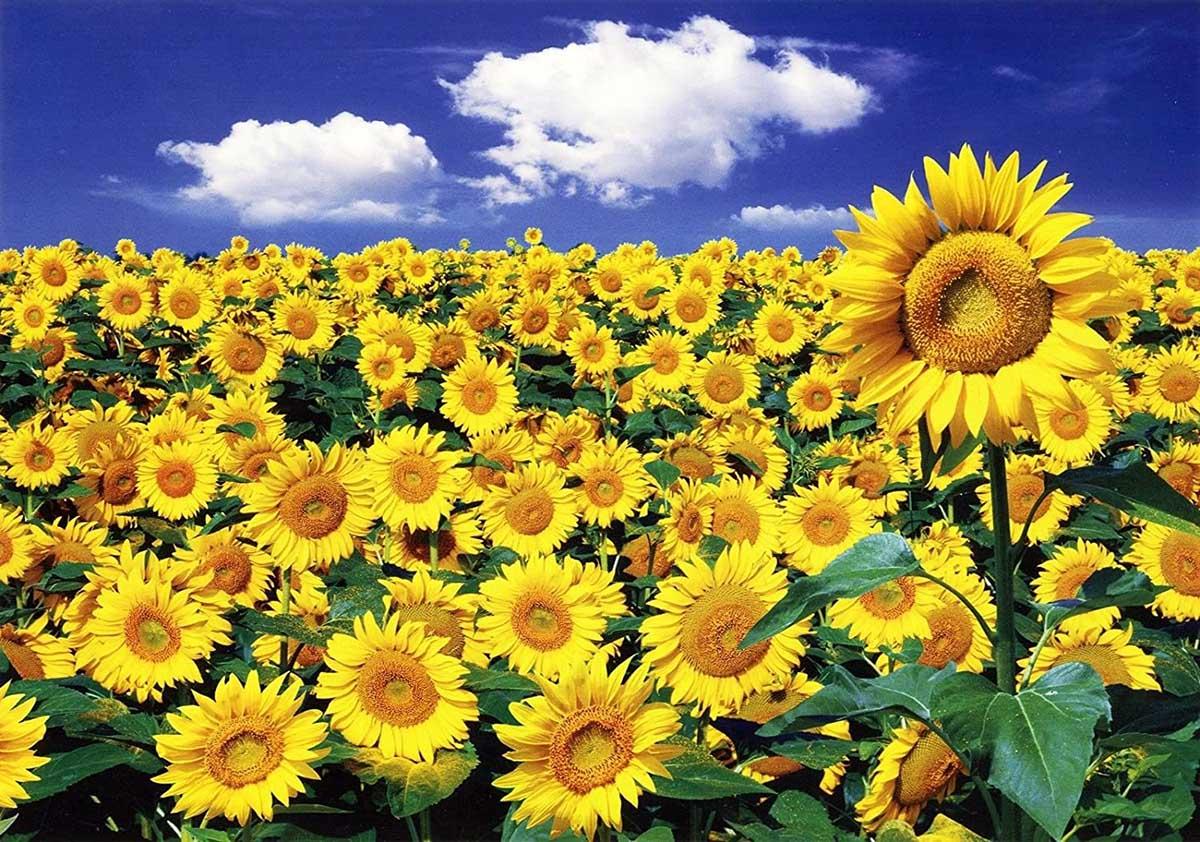Sunflower Ii Flowers Jigsaw Puzzle