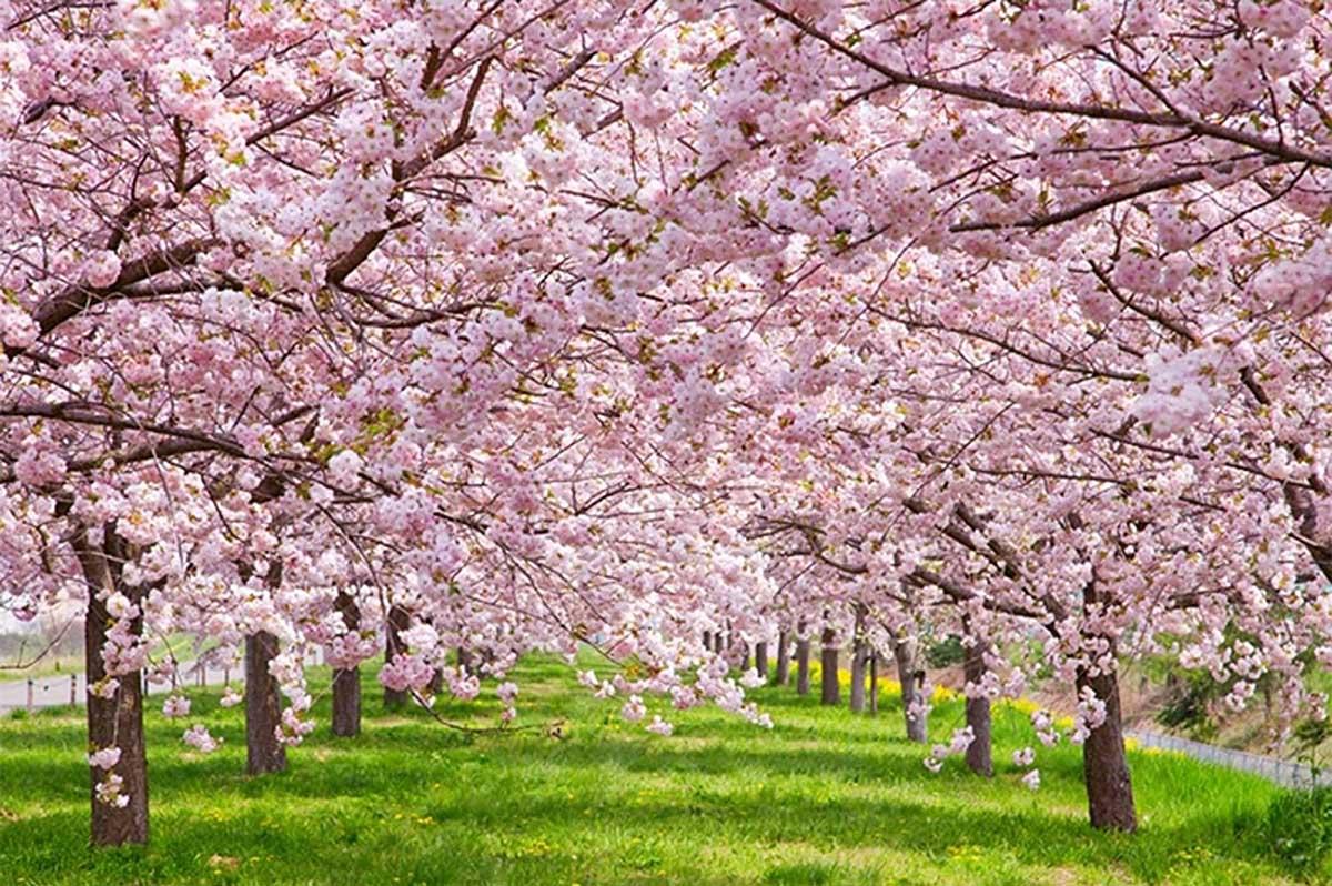 Cherry Blossom Flowers Jigsaw Puzzle