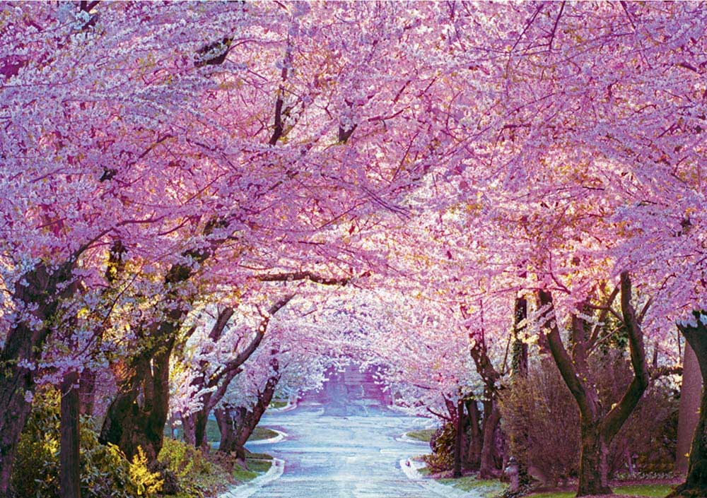 Cherry Blossom Road Flowers Jigsaw Puzzle
