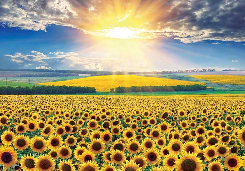 Sunflower Field - Scratch and Dent Sunflower Jigsaw Puzzle