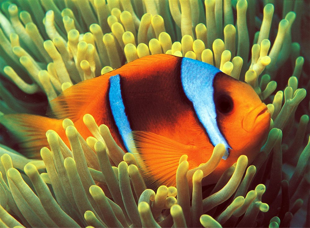 Clownfish Under The Sea Glow in the Dark Puzzle
