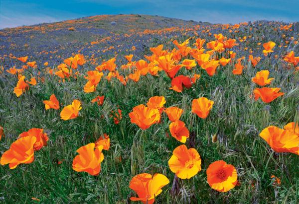 Poppies, Sierra Club Flowers Jigsaw Puzzle