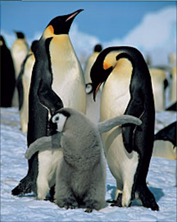 Emperor Penguins Winter Jigsaw Puzzle