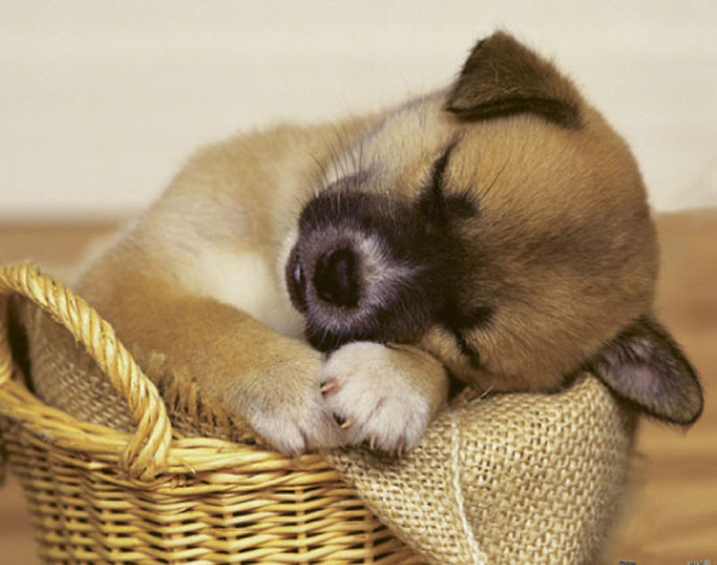 Cute Animals - A Napping Puppy Dogs Jigsaw Puzzle