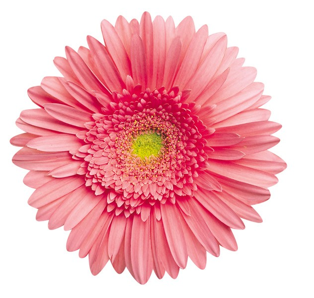 Pink Gerbera Daisy - Scratch and Dent Flowers Shaped Puzzle