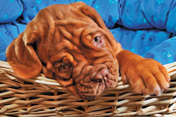 Wrinkles Dogs Jigsaw Puzzle